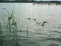 Jest również ostoją ptactwa wodnego