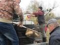 8.W kilku ludzi sprawnie przeniesiono ryby do starorzecza!