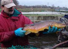 Pracownik prezentuje jedną z ryb biorących udział w tarle