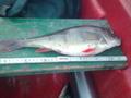 piękne rybki z jeziora Jasnego. 13.11.10