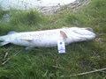 Szupak znaleziony nad jeziorem Jasnym, 104 cm, 10,5 kg