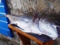 Tuńczyk złowiony przez rybka w Czarnogórze