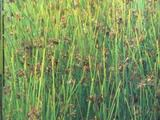 Sit rozpierzchły (Juncus effusus L.)