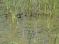 Kacza rodzina na wodzie.