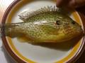 Ryba złowiona 03.11.2016 roku na jeziorze Jelonek woj. pomorskie.  Ryba o długości ok 15cm szerokości ok 7,5 cm.  Obcy gatunek, od pewnego czasu występuje także w Polsce.  Ze względu na ten  fakt, jak i na to, że jest to ryba niesamowicie prezentująca się w akwarium. Bass jest prawdziwym rarytasem pośród ryb spotykanych w Polsce.   Charakterystyka: Bass słoneczny jest rybą z rodziny okoniokształtnych. W naturze dorasta do 30 cm, w Europie jednak nie przekracza  15 cm.  Posiada krótkie i bocznie spłaszczone ciało. Jego wysokość to prawie 50% jego długości.  Posiada mały pysk, którego koniec sięga przedniej krawędzi jego oka.  Tak jak u wszystkich ryb z tej rodziny zaobserwować możemy dwie płetwy grzbietowe. Głowa i górna część ciała jest koloru brązowego, miedzianego lub oliwkowozielonego, boki o zabarwieniu złocistym, z opalizującymi pomarańczowymi, żółtymi i zielono-niebieskimi pasami. Brzuch jest czerwono-pomarańczowy. Pokrywy skrzelowe i policzki są pomara