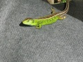 Uwieczniona na zdjęciu jaszczurka zwinka /Lacerta agilis/ spotkana nad brzegiem jeziora Ulla./JC/